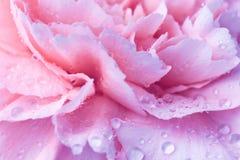 Belle fleur d'oeillet avec des gouttes de l'eau image libre de droits