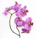 Belle fleur d'orchidée de Phalaenopsis de léopard sur le fond blanc Photographie stock libre de droits