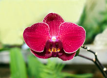 Belle fleur d'orchidée orientale rouge Photo libre de droits
