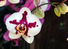 Belle fleur d'orchidée orientale rouge et blanche image libre de droits