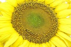 Belle fleur d'un tournesol Image libre de droits