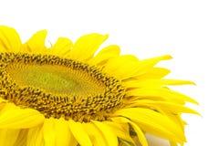 Belle fleur d'un tournesol Photos stock