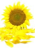 Belle fleur d'un tournesol Photo stock