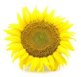 Belle fleur d'un tournesol Photographie stock libre de droits