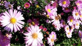 Belle fleur daysilike lilas d'aster et la petite abeille image libre de droits