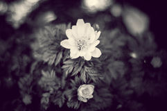 Belle fleur de B&W images libres de droits
