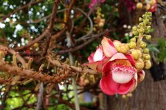 Belle fleur de boulet de canon Photos libres de droits