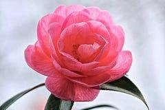 Belle fleur de camélia en Van Duzen Botanical Garden photo libre de droits