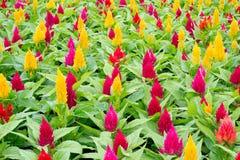 Fleur de Celosia Photos stock