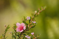 Belle fleur de cerise Photo stock
