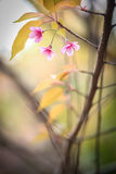 Belle fleur de cerise Images stock