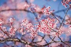 Belle fleur de cerise contre le ciel bleu Image libre de droits