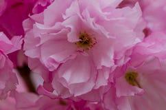 Belle fleur de cerise rose Image libre de droits