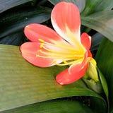Belle fleur de Clivia Photo stock