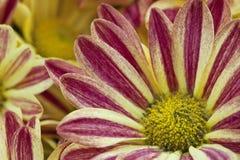 Belle fleur de couleur jaune et rouge Image stock