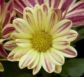 Belle fleur de couleur jaune et rouge Photos stock