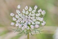 Belle fleur de dentelle de la Reine Anne Image stock