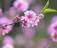 Belle fleur de fleurs de cerisier dans la floraison au printemps Photos libres de droits