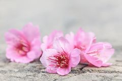 Belle fleur de fleurs de cerisier, fleur de Sakura Photographie stock libre de droits
