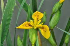 Belle fleur de floraison d'iris jaune Photos libres de droits