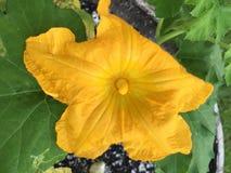 Belle fleur de floraison d'usine de potiron Images stock