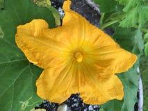 Belle fleur de floraison d'usine de potiron photos libres de droits