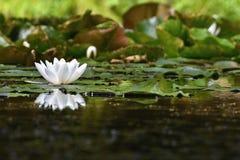 Belle fleur de floraison - nénuphar blanc sur un étang (Nymphaea alba) fond brouillé coloré naturel Images libres de droits