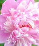 Belle fleur de floraison rose de pivoine Photographie stock
