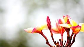 Belle fleur de frangipani sur la valentine d'amour d'arbre Images stock