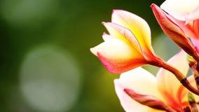 Belle fleur de frangipani sur la valentine d'amour d'arbre Photos stock