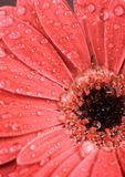 Belle fleur de gerbera Image stock
