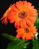Belle fleur de gerbera Photos libres de droits