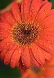 Belle fleur de gerbera Photographie stock libre de droits