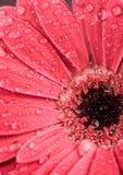 Belle fleur de gerbera Photo libre de droits