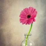 Belle fleur de gerbera Photo stock