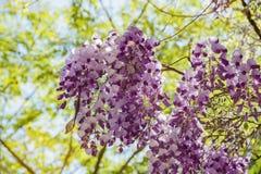 Belle fleur de glycine au jardin de Descanso Images stock