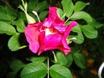 Belle fleur de hanche rose après coucher du soleil images libres de droits