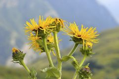 Belle fleur de helenium d'Inula contre le ciel et les montagnes images libres de droits