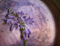 belle fleur de hosta en métal de milieux Images libres de droits