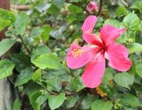 Belle fleur de ketmie à l'arrière-plan de jardin Photographie stock libre de droits