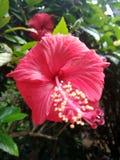 Belle fleur de ketmie photo stock