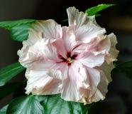 Belle fleur de ketmie Image stock
