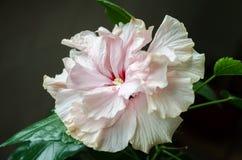 Belle fleur de ketmie Images libres de droits