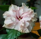 Belle fleur de ketmie Image libre de droits