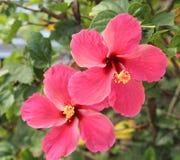 Belle fleur de ketmie dans le jardin photos libres de droits
