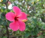 Belle fleur de ketmie dans le jardin photo stock