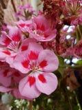 Belle fleur de la saison d'été dans le secteur et en parcs et dans les pelouses Image stock