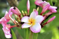 Belle fleur de leelawadee Photographie stock