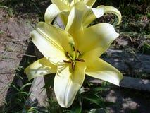 Belle fleur de lis dans la pleine taille image stock