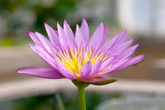 Belle fleur de lotus à l'arrière-plan de nature Images stock